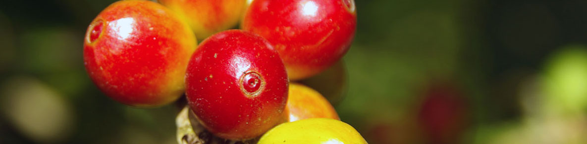 Coffee Cherry Banner