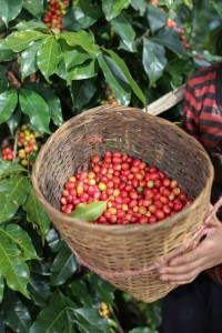 Organic coffee: Red coffee bean berries being harvested