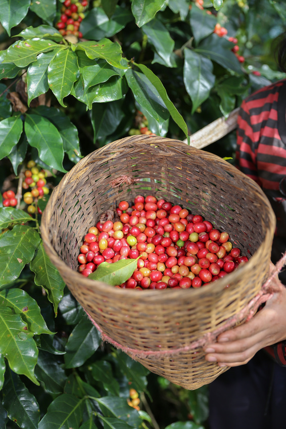 Green Bridge Organics: Red berries of coffee beans in basket