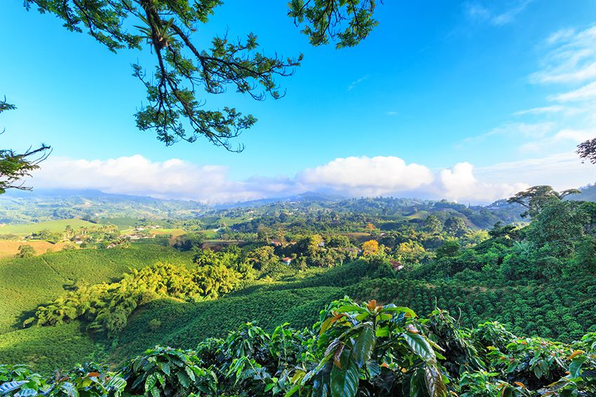 landscape with coffee plants